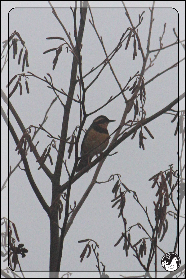 Ridgetop Farm and Garden | Great Backyard Bird Count | Varied Thrush