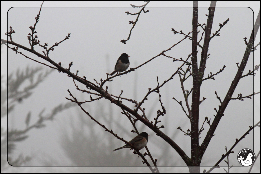 Ridgetop Farm and Garden | Great Backyard Bird Count | Junco