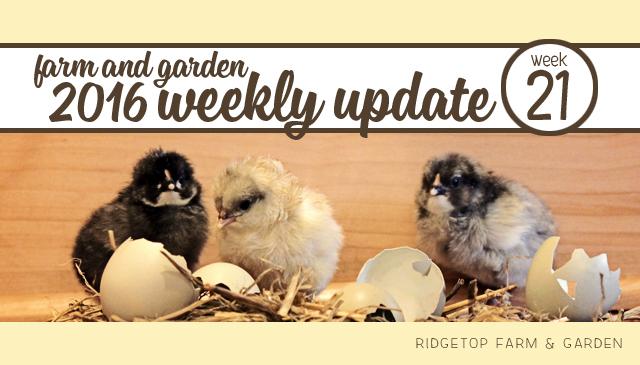 Ridgetop Farm and Garden   2016 Update   Week 21