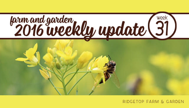 Ridgetop Farm and Garden | 2016 Update | Week 31