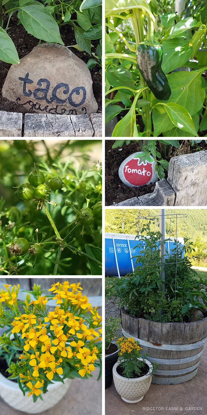 Ridgetop Farm and Garden | Project Repurpose | Herb Barrel from Water Fountain | Taco Garden