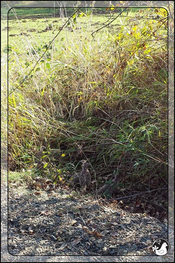 Ridgetop Farm and Garden | Birds of 2013 | Week 44 | Ring-necked Pheasant