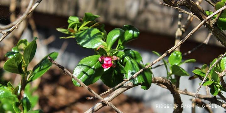 Ridgetop Farm and Garden | Pride of Donnard Escallonia