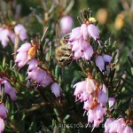 Creating a Heather Haven