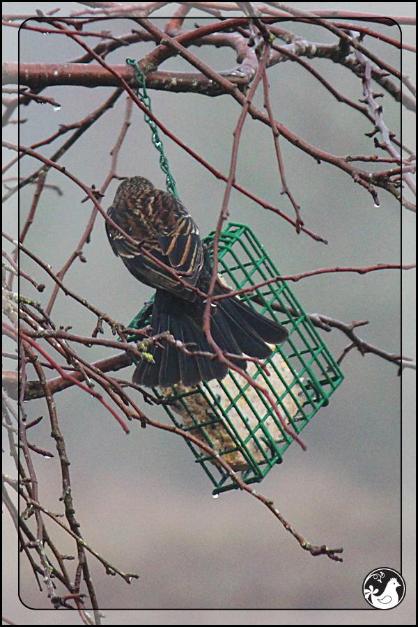 Ridgetop Farm and Garden | Birds of 2013 | Week 15 | Red-winged Blackbird