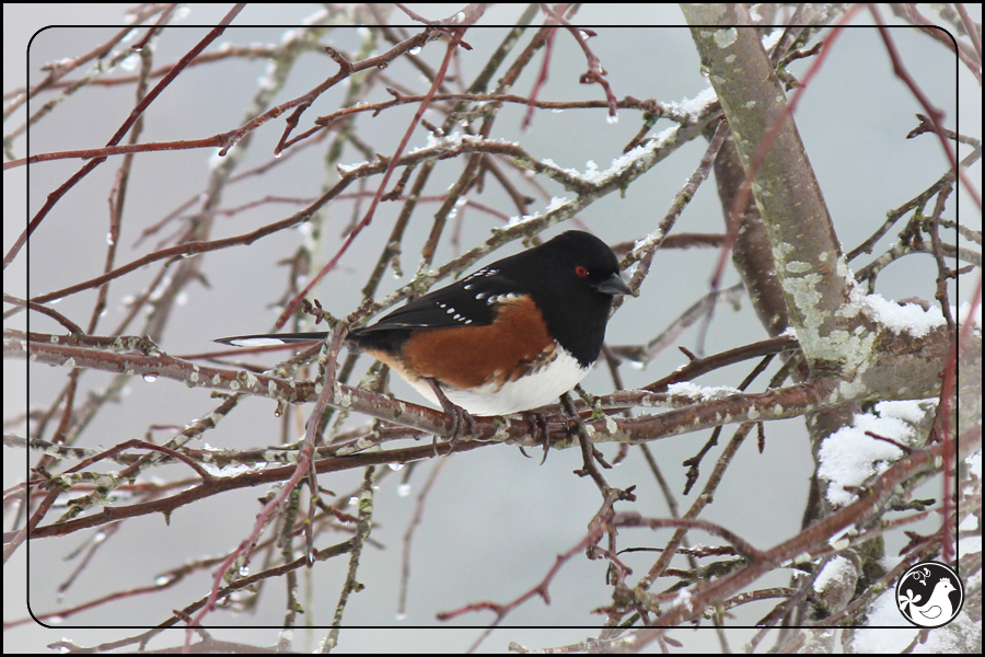 Ridgetop Farm and Garden | Birds of 2013 | Week 51 | Spotted Towhee
