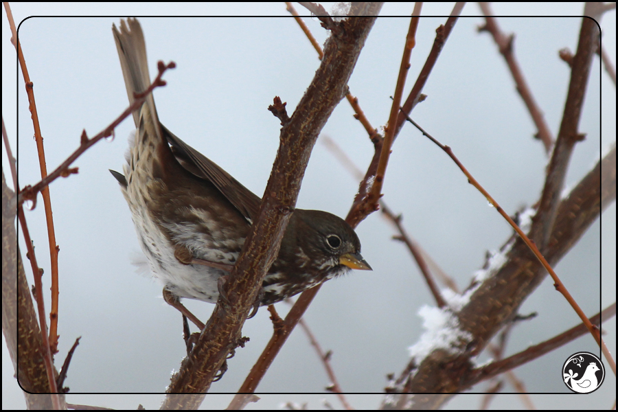 Ridgetop Farm and Garden | Birds of 2013 | Week 51 | Fox Sparrow