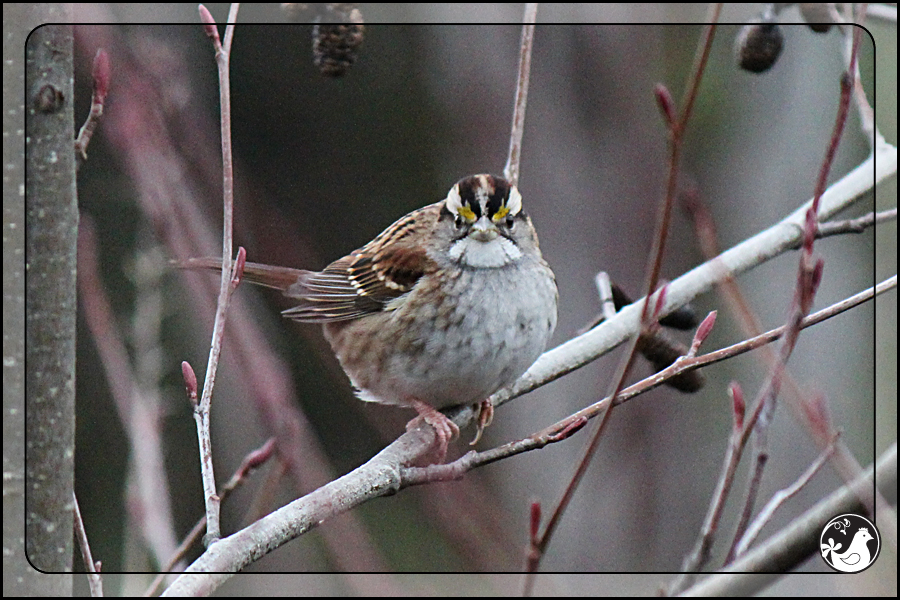 Ridgetop Farm and Garden | Birds of 2013 | Week 5 | White-throated Sparrow