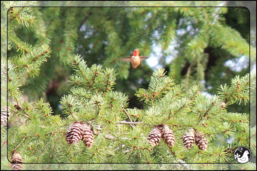 Ridgetop Farm and Garden | Birds of 2013 | Week 13 | Rufous Hummingbird