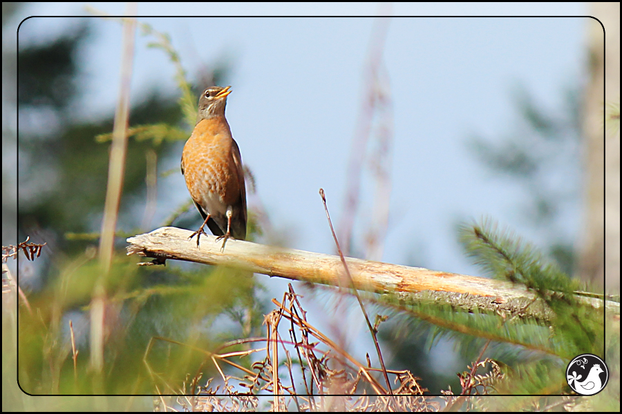 Ridgetop Farm and Garden | Birds of 2013 | Week 13 | American Robin