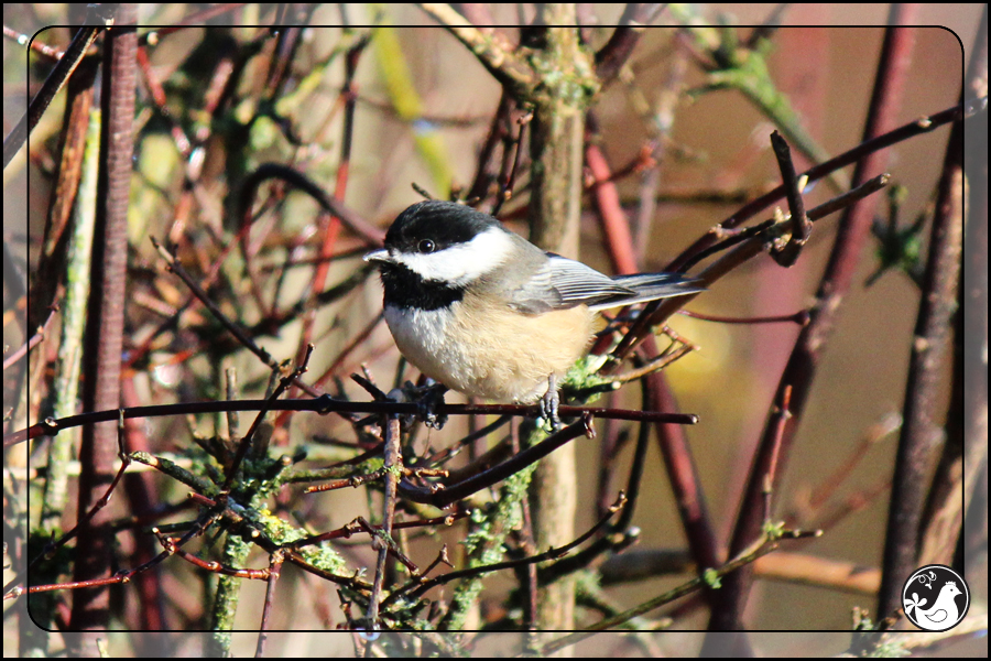 Ridgetop Farm and Garden | Birds of 2013 | Week 3 | Black-capped Chickadee