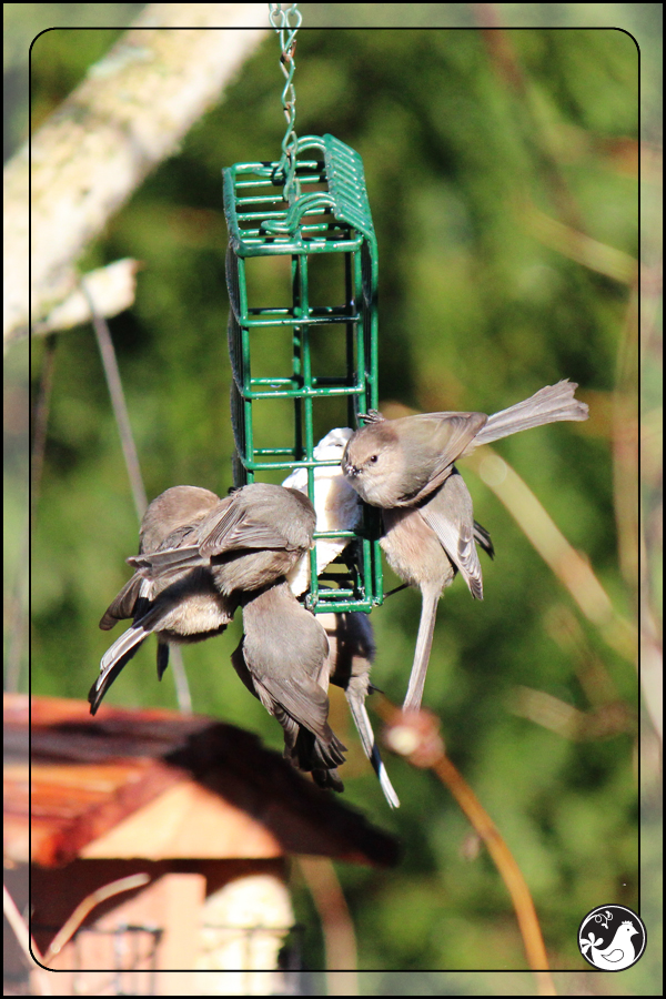 Ridgetop Farm and Garden | Birds of 2013 | Week 3 | Bushtit