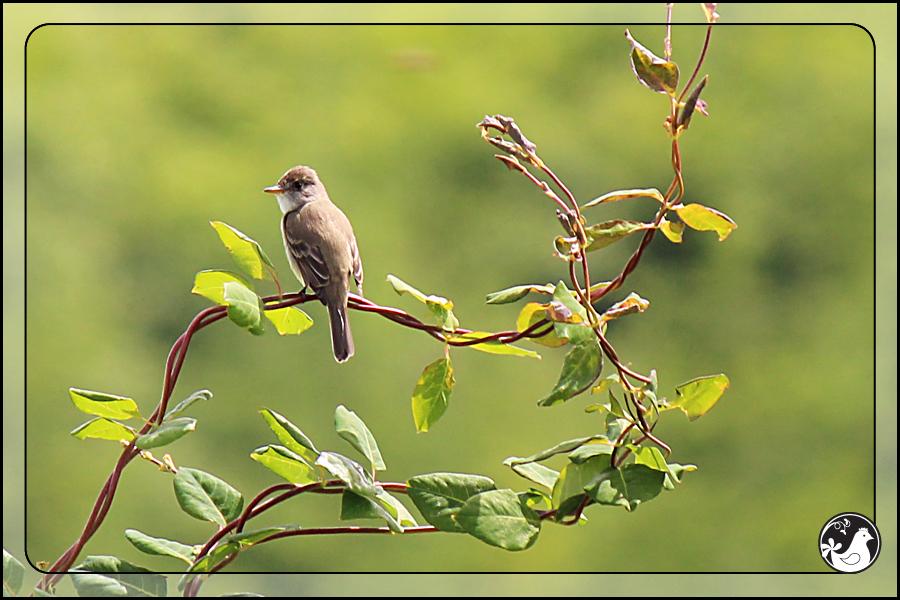 Ridgetop Farm and Garden | Birds of 2013 | Week 25 | Flycatcher