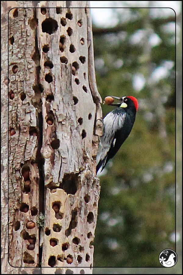 Ridgetop Farm and Garden | Birds of 2013 | Week 9 | Acorn Woodpecker