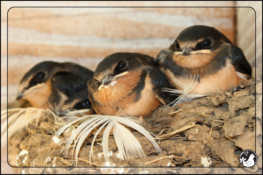 Ridgetop Farm and Garden | Birds of 2013 | Week 31 | Barn Swallow
