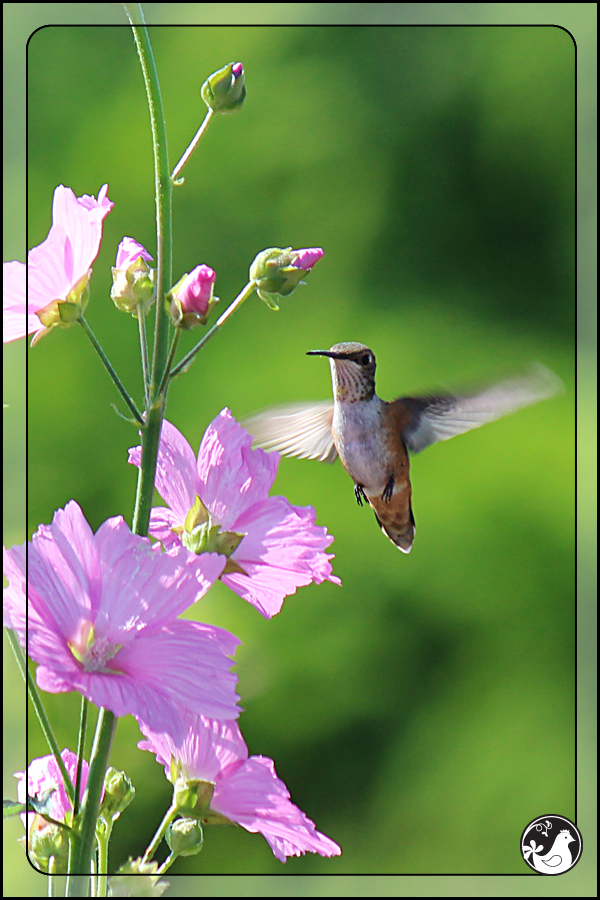 Ridgetop Farm and Garden | Birds of 2013 | Week 25 | Rufous Hummingbird