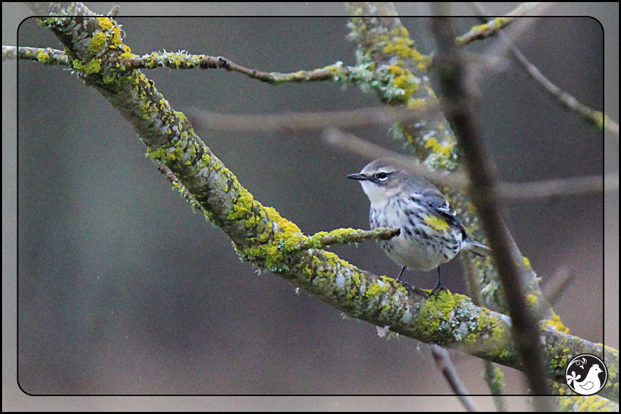 Ridgetop Farm and Garden | Birds of 2013 | Week 11 | Yellow-rumped Warbler