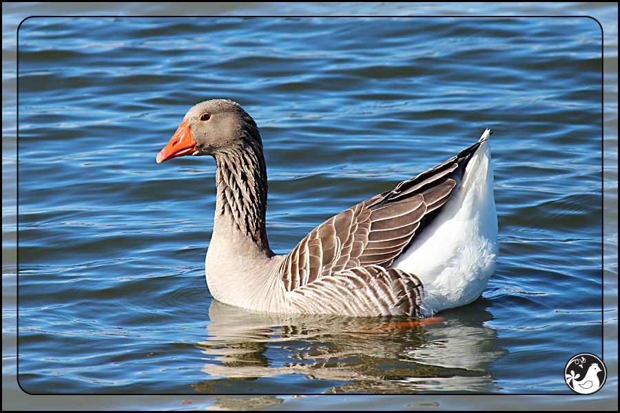 Ridgetop Farm and Garden | Birds of 2013 | Week 11 | Graylag Goose