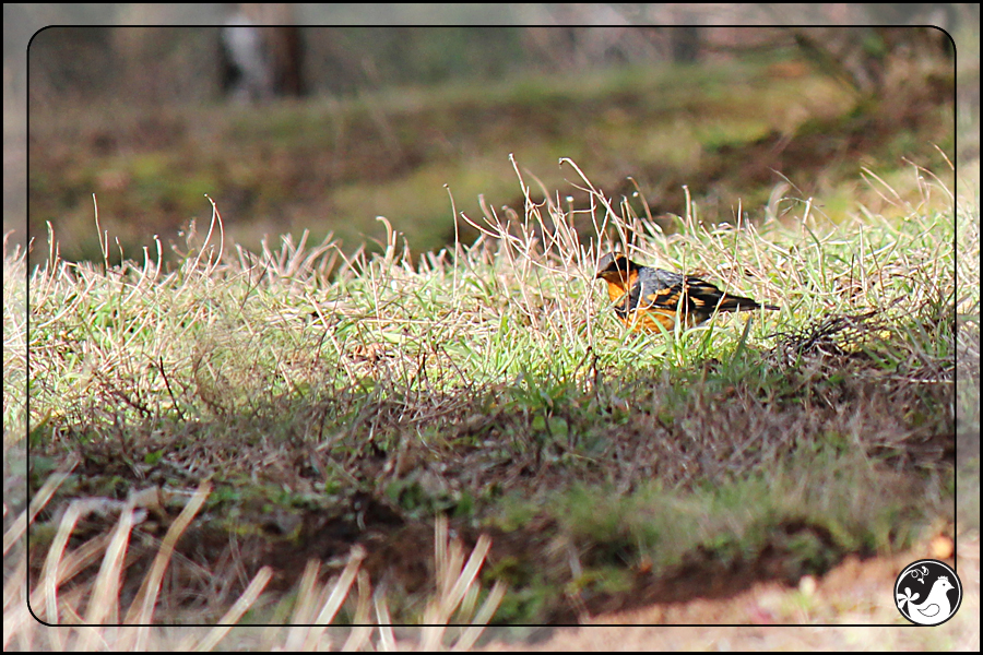 Ridgetop Farm and Garden | Birds of 2013 | Week 5 | Varied Thrush