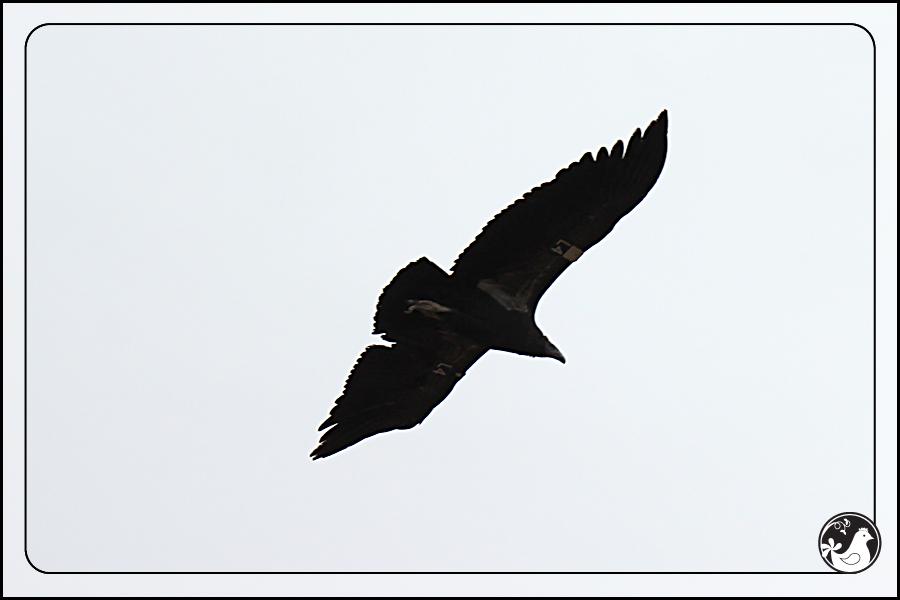 Ridgetop Farm and Garden | Birds of 2013 | Week 35 | California Condor
