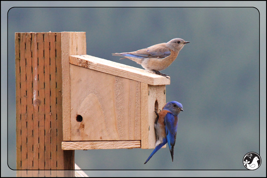 Ridgetop Farm and Garden | Birds of 2013 | Week 17 | Western Bluebird