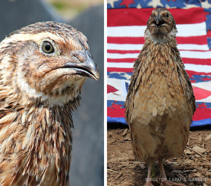 Ridgetop Farm and Garden | Quail