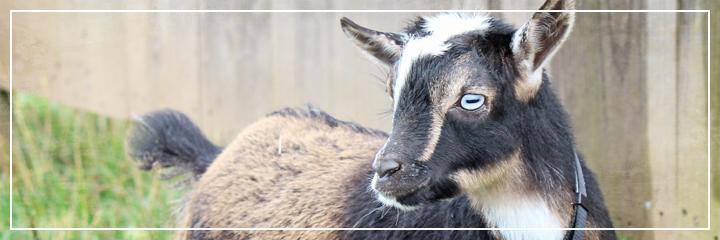 Ridgetop Farm and Garden | Nigerian Dwarf Goats