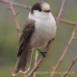 Birds 'round Here: Gray Jay