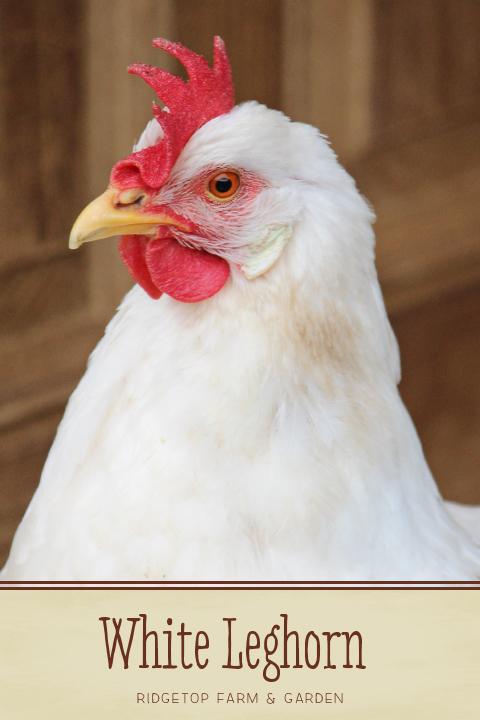 Ridgetop Farm and Garden | Chicken Breed | White Leghorn