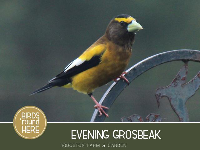 Ridgetop Farm and Garden   Evening Grosbeak