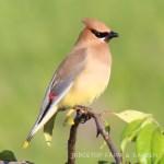 Birds 'round Here: Cedar Waxwing