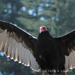 Birds 'round Here: Turkey Vulture