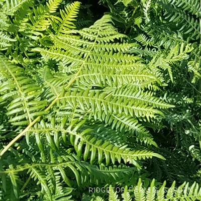 Pacific NW Plants: Bracken Fern