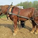 Suffolk Punch Horses For Sale Ridgewind Suffolk Farm