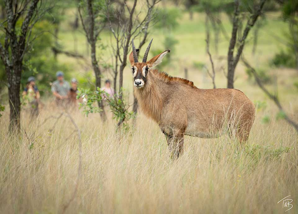 Intimate encounters with Roan antelope
