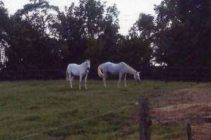 Bella and Pepper in field