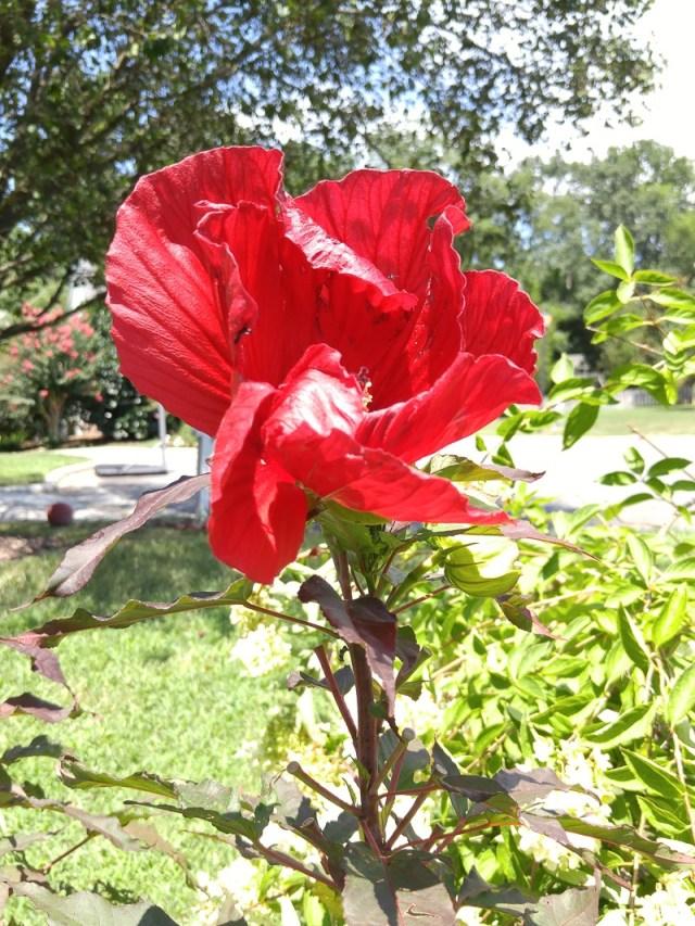 Hibiscus-at-Jans.800-42