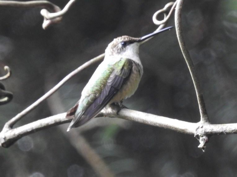 hummingbird-1-800-0469
