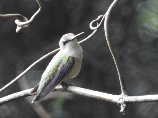 hummingbird-2-800-0470