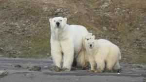 Study finds robust polar bear population in sea near Alaska