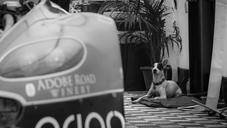Belle Isle Grand Prix Dog