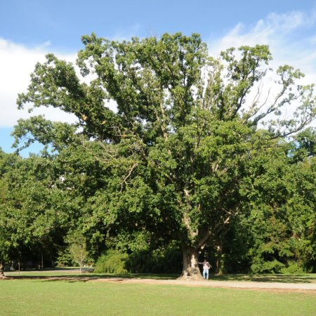 Arkansas Champion Trees are the largest in the in the state in their species. Searching for them is a great way to explore the state, appreciate trees, and see history.