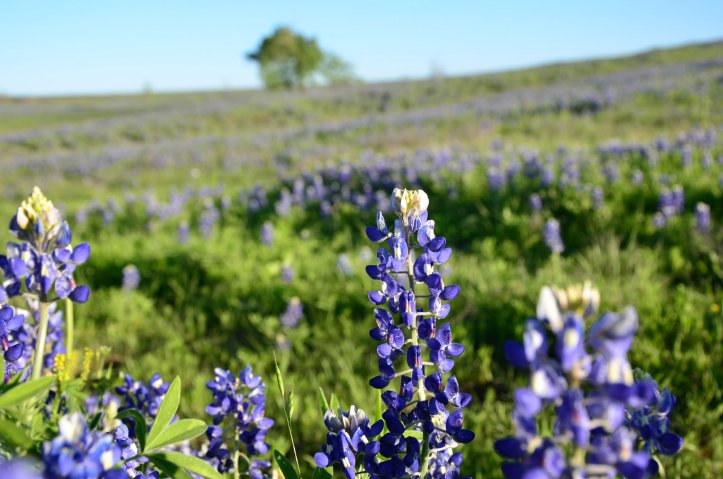 Bluebonnets are shown up close and covering the fields in the distance