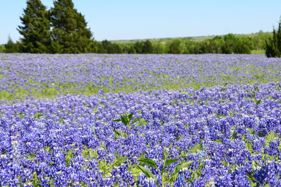 Ennis is home to the Texas Bluebonnet Trail and is a wonderful place to enjoy the flowers
