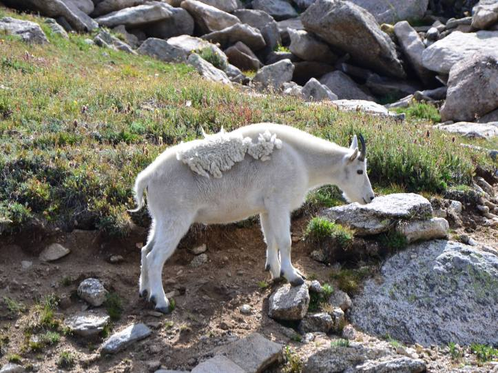 This is a goat I saw in Colorado. Knowing what type of wildlife to expect is extremely important with Leave No Trace Principle 1 – Plan Ahead and Prepare.