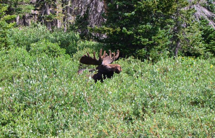 A moose is shown in Wyoming. Always observe wildlife from a safe distance and use Leave No Trace Principle 6 – Respect Wildlife