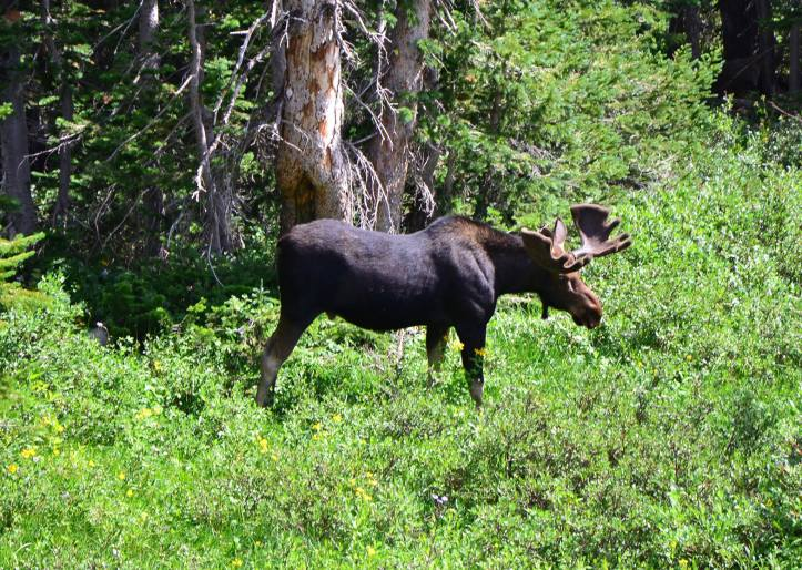 A moose grazes makes his way through the forest.