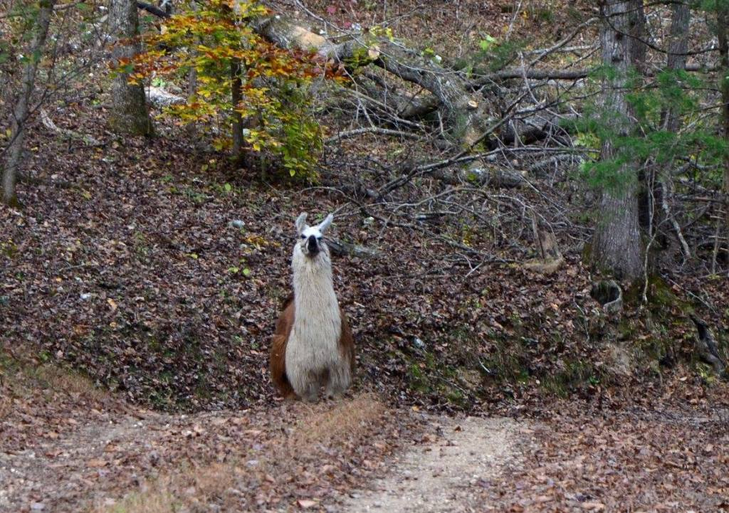 A llama peaks out as the Buffalo River Trail crosses private land. Practice Leave No Trace Principle 7 to show extra respect to private land owners