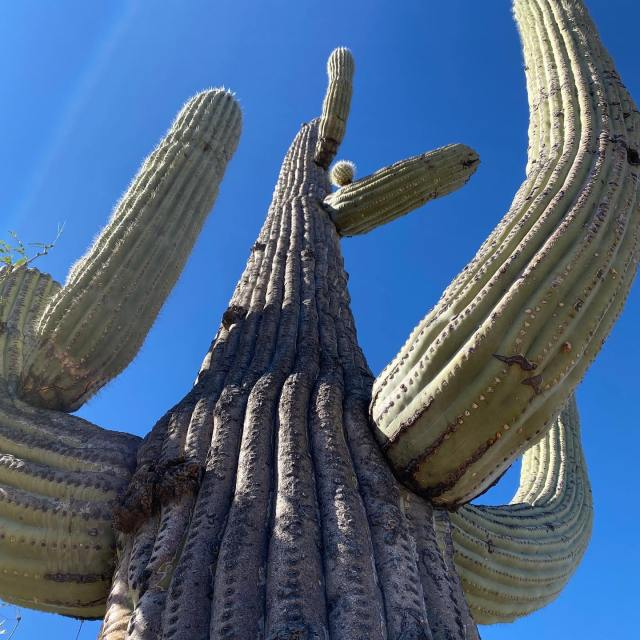 A large saguaro is shown on a budget travel road trip