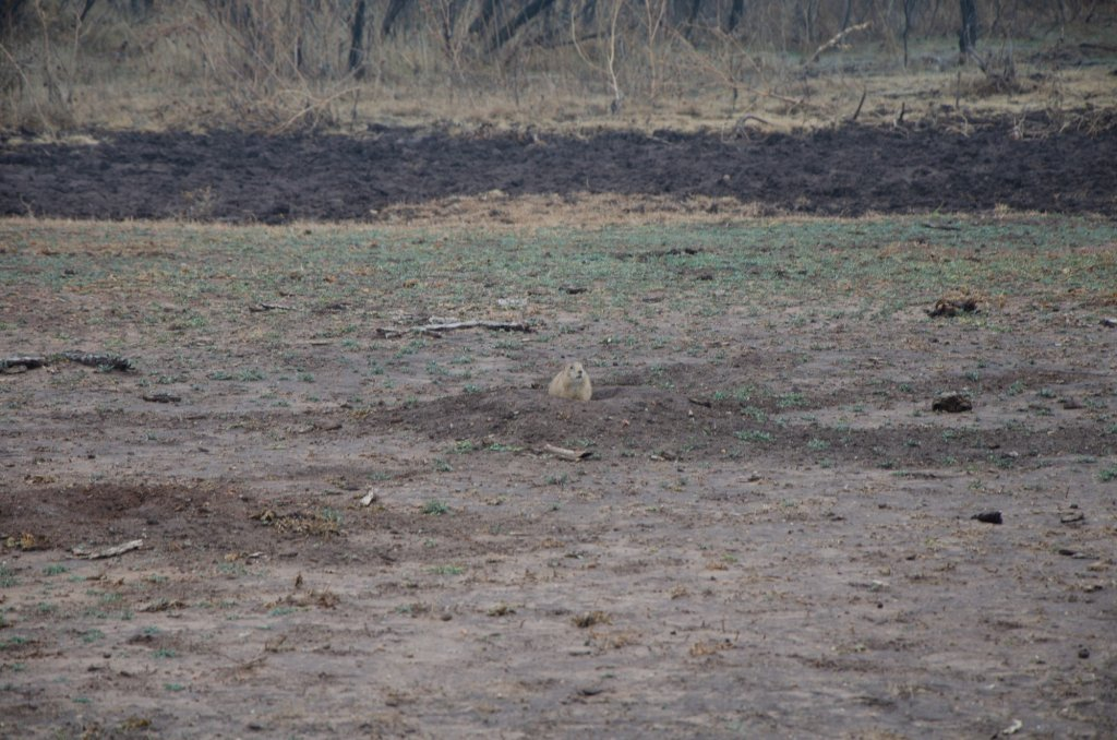 A prairie dog blends into the ground